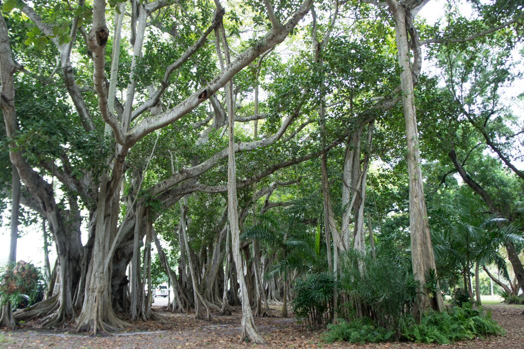 Figuier banian 1 - Fort Myers Floride