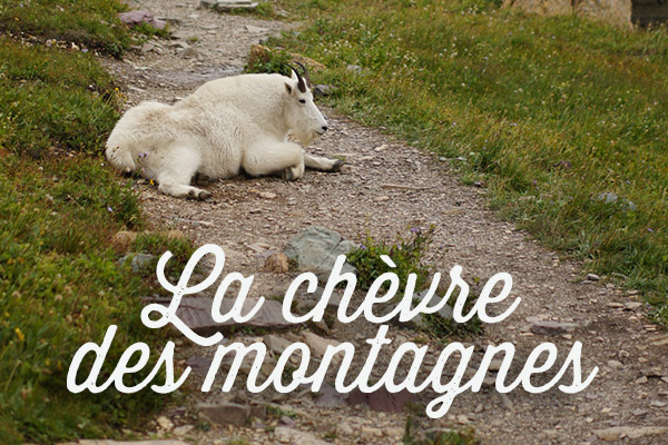 La chèvre des montagnes - the mountain goat - Montana