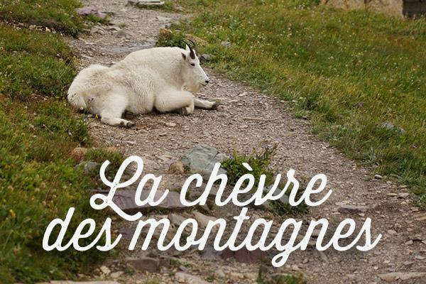 La chèvre des montagnes - the mountain goat - Montana