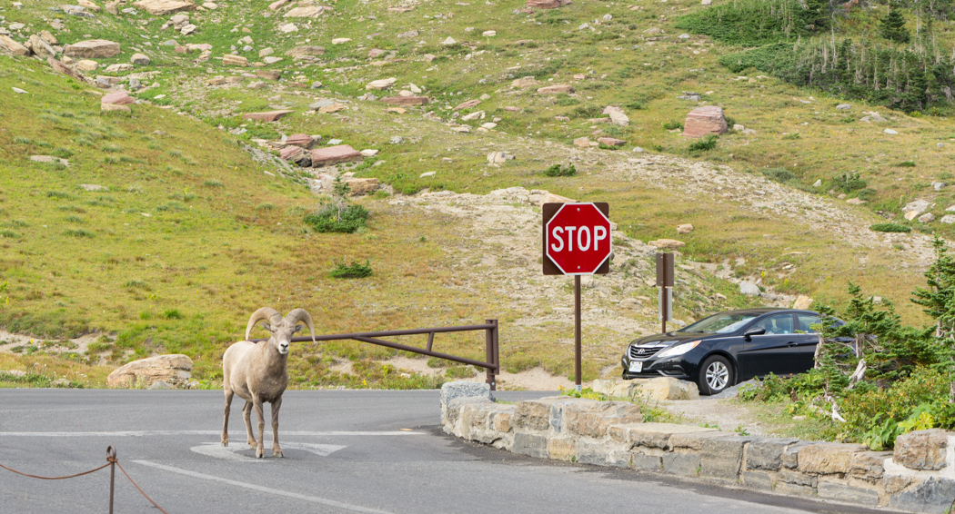 Glacier National Park - bighorn sheeps