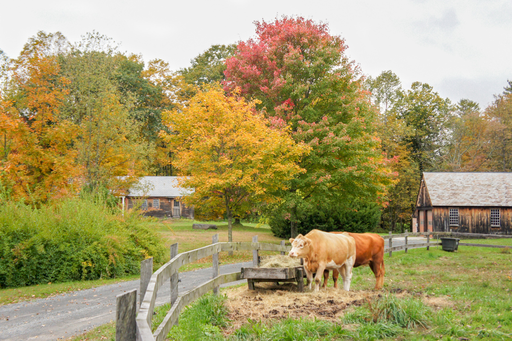 Grosse vache d'automne Nouvelle Angleterre