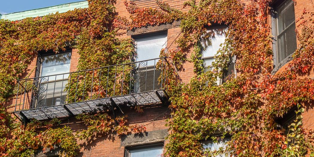 Fall Boston ivy