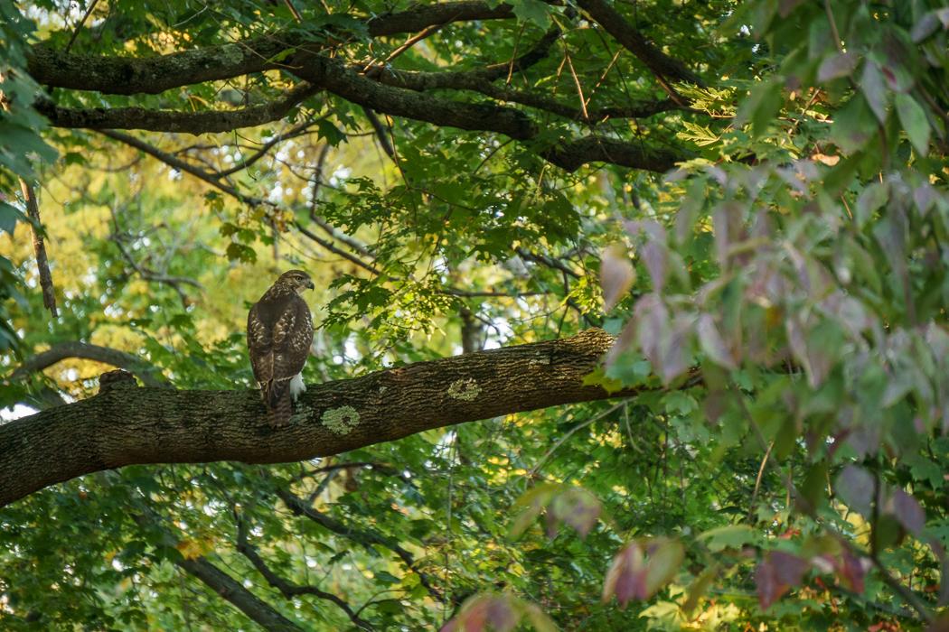 Mount Auburn faucon
