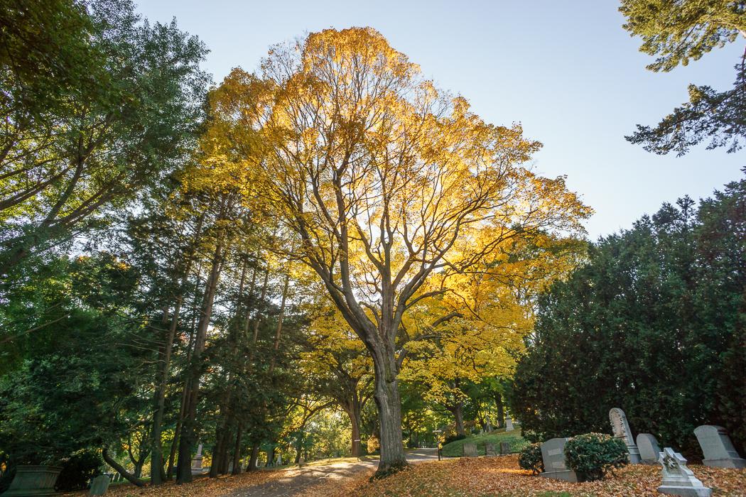 Mount Auburn arbre jaune