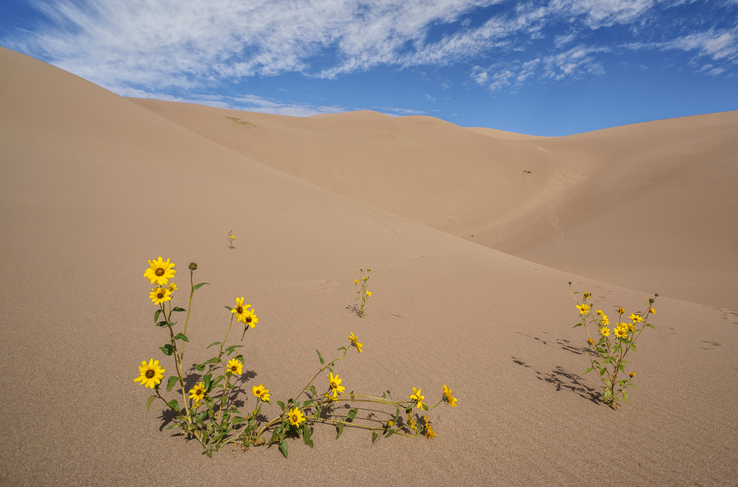 Great Sand Dunes Colorado petites fleurs sauvages jaunes dans les dunes de sable