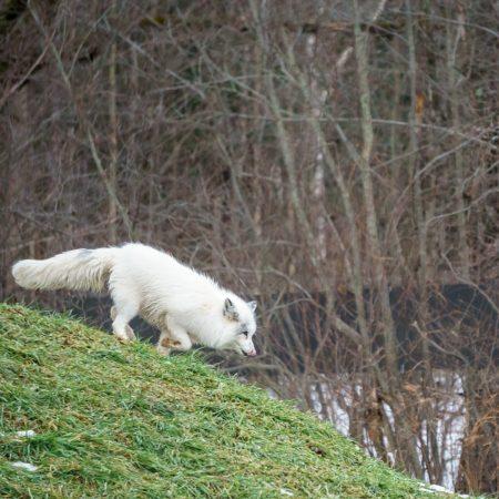 Voyage Quebec Parc omega renard arctique blanc