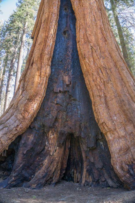 sequoia national park californie écorce de séquoia