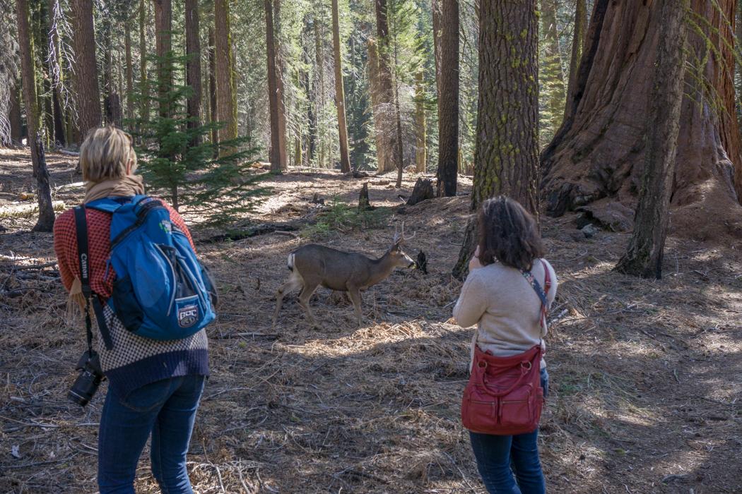 sequoia national park californie une biche et des photographes