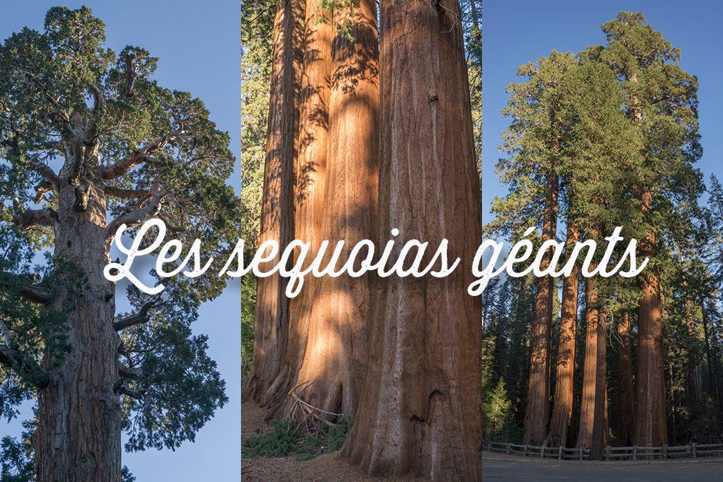 Les sequoias geants en Californie