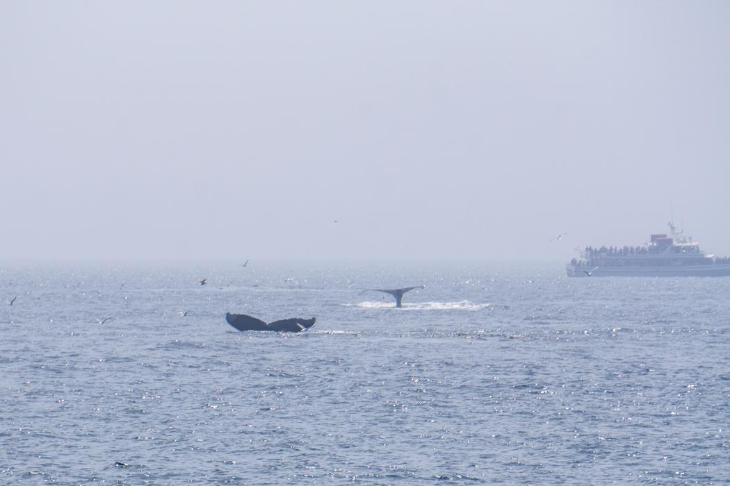 Voir les baleines a Boston-10