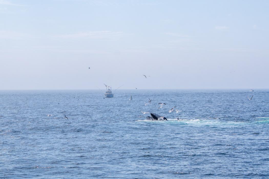 Voir les baleines a Boston-8