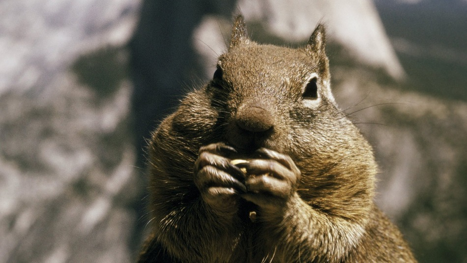 squirrel_yosemite