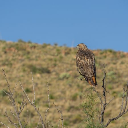 Big Bend Texas - hawk