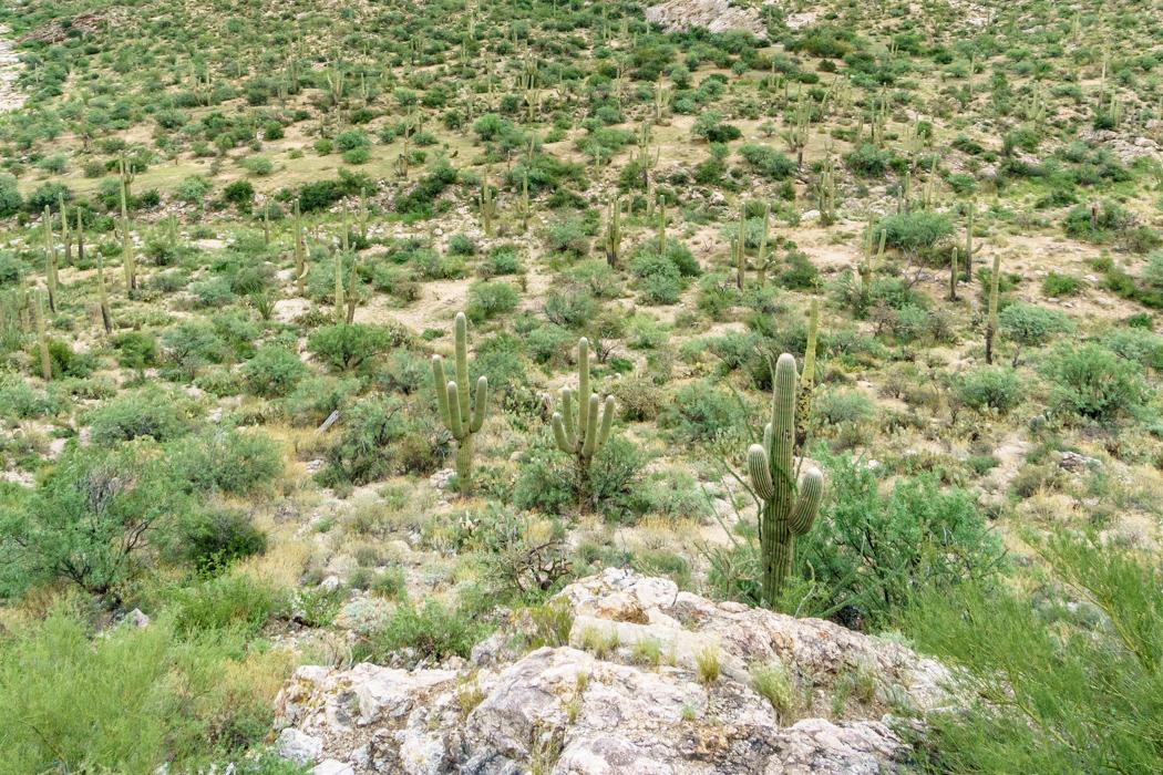Saguaro Cactus Arizona-10