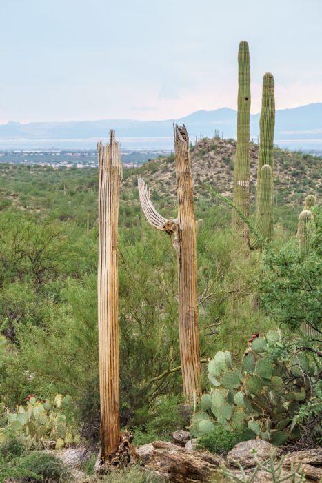 Saguaro Cactus Arizona-11