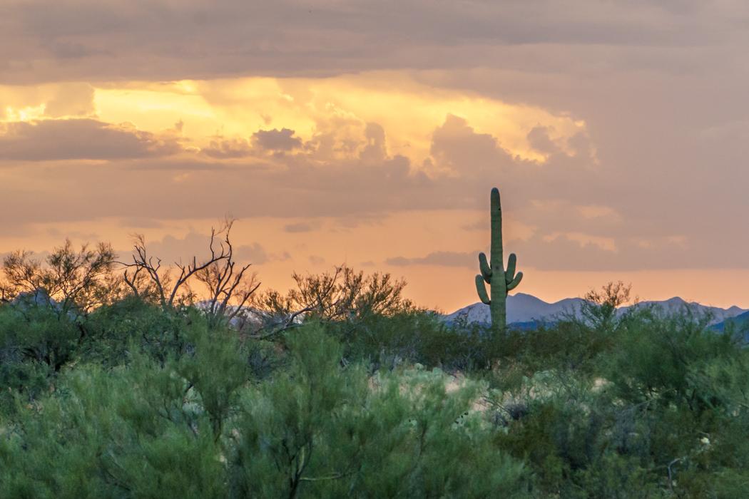 Saguaro Cactus Arizona-15