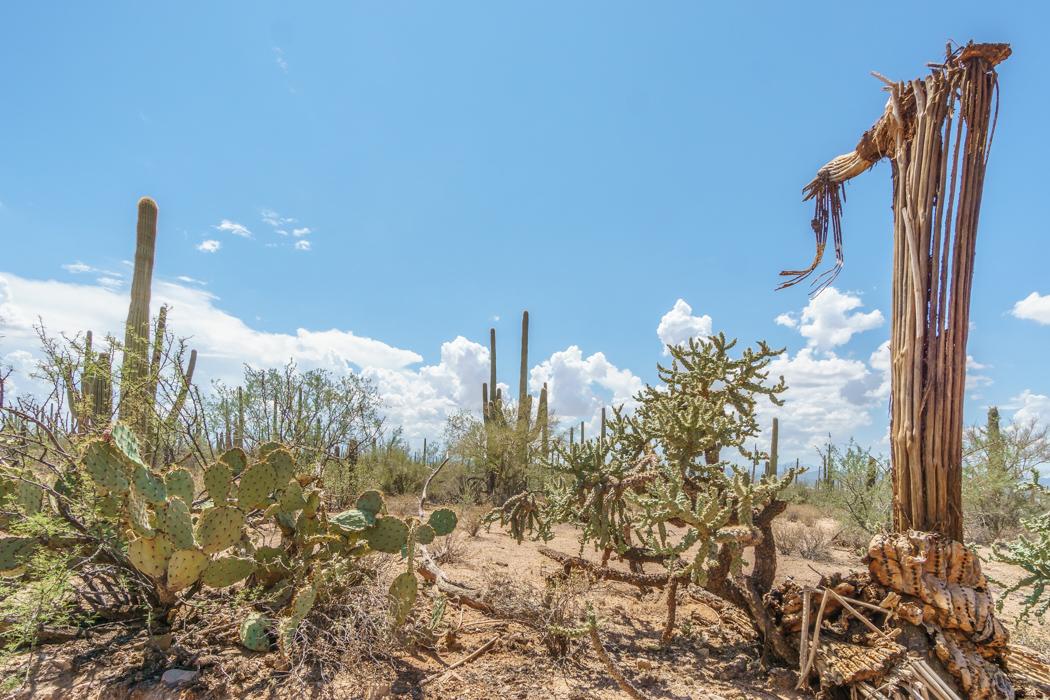 Saguaro Cactus Arizona-16