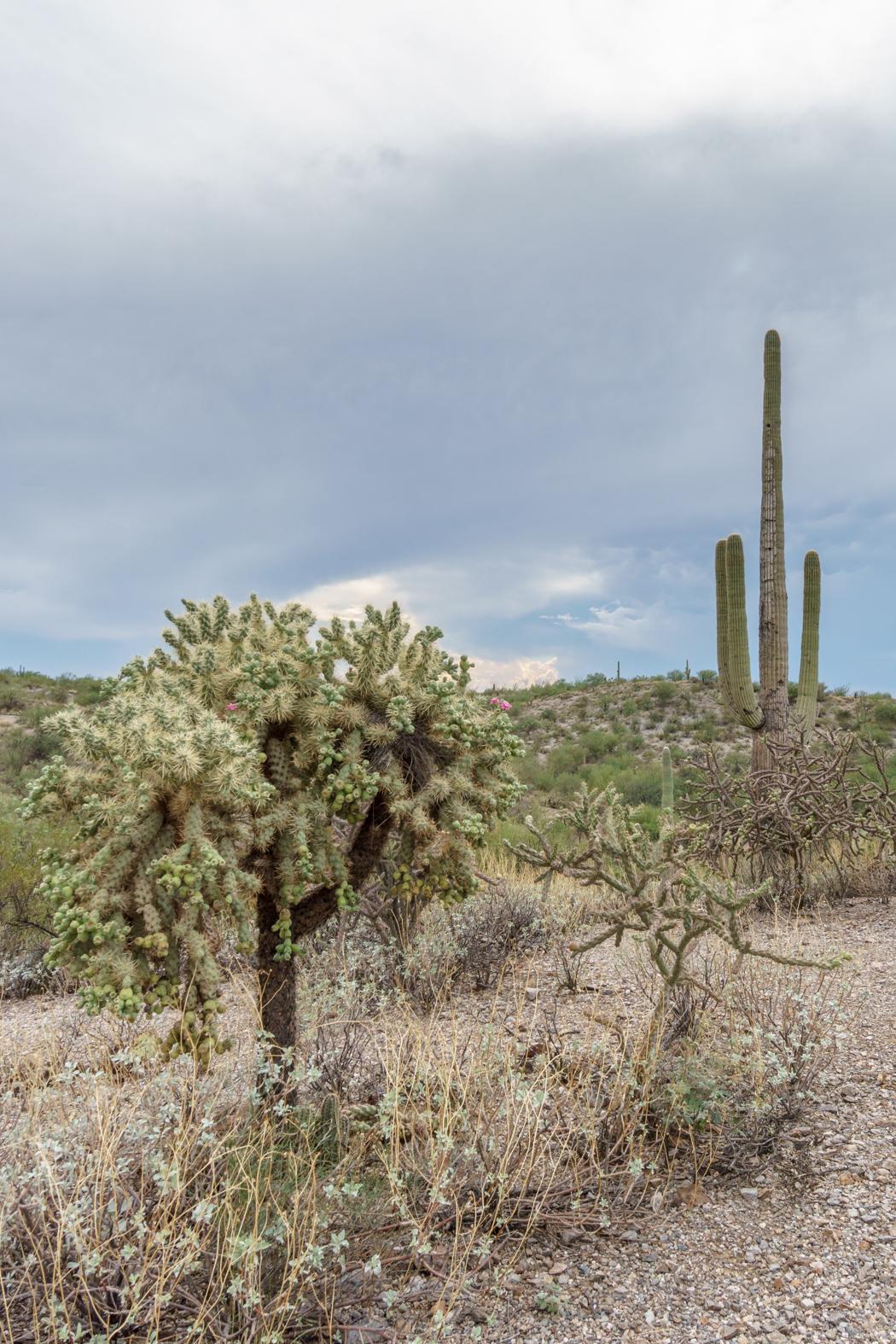 Saguaro Cactus Arizona-3