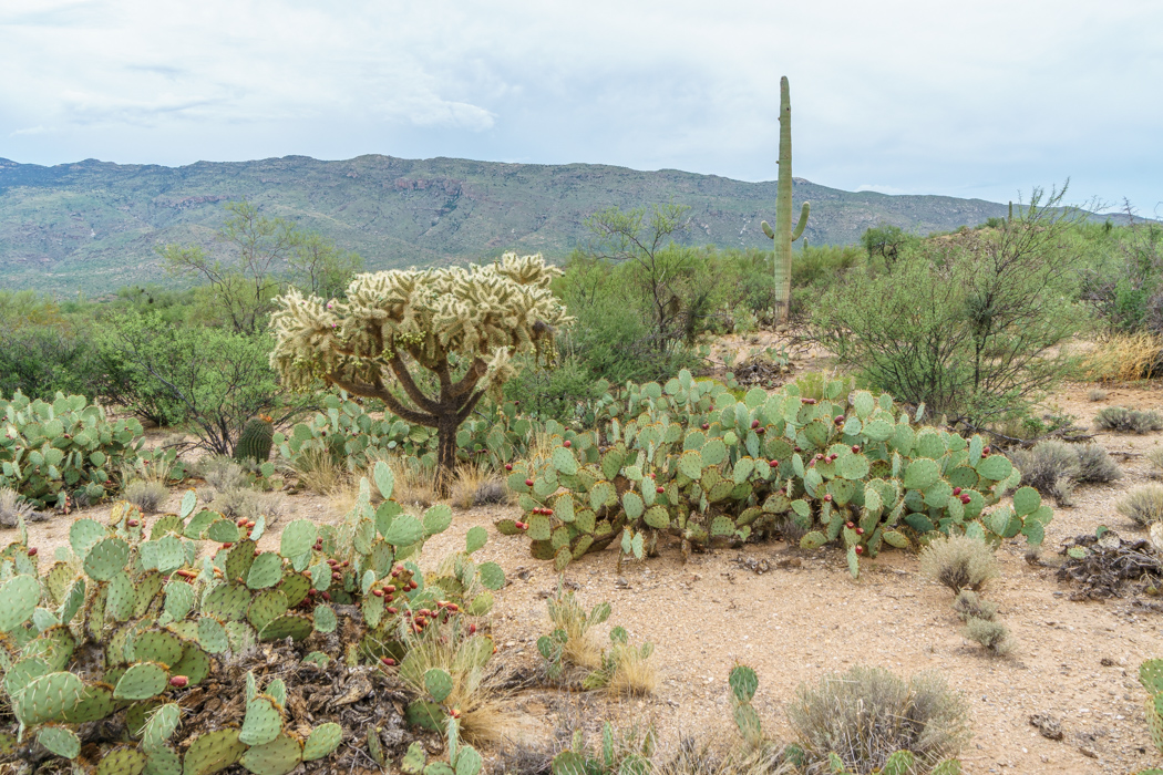 Saguaro Cactus Arizona-7