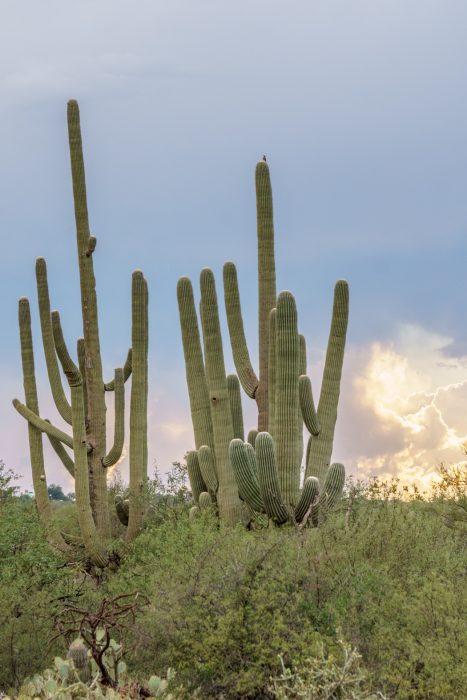 Saguaro Cactus Arizona-8