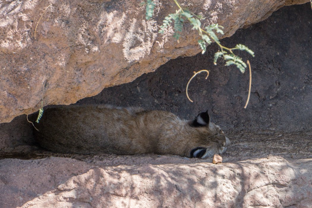 Tucson Arizona big cat
