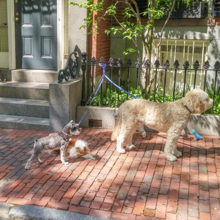 Boston promeneur de chiens