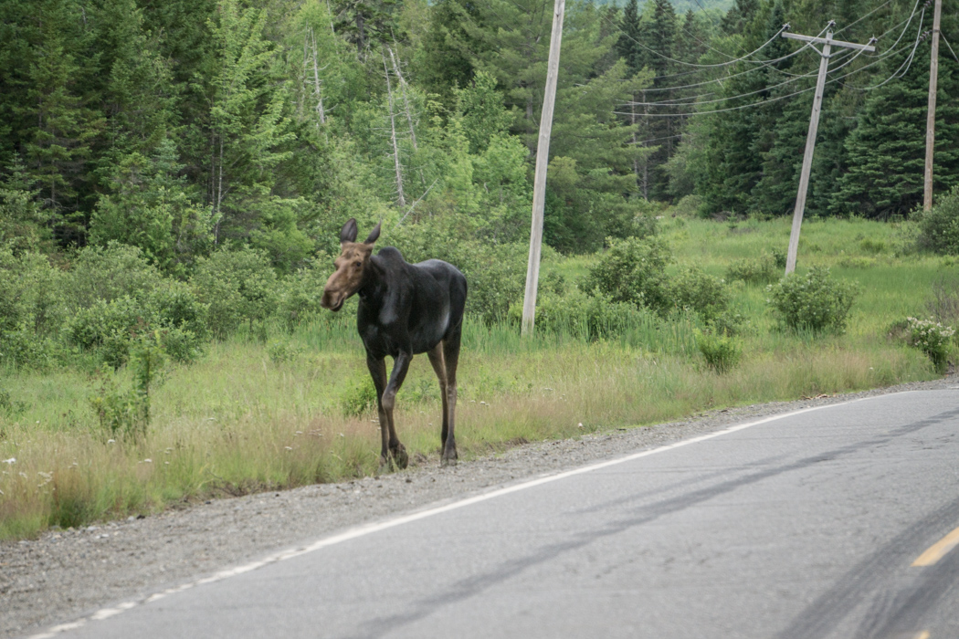 Moose Tour Maine-1-2