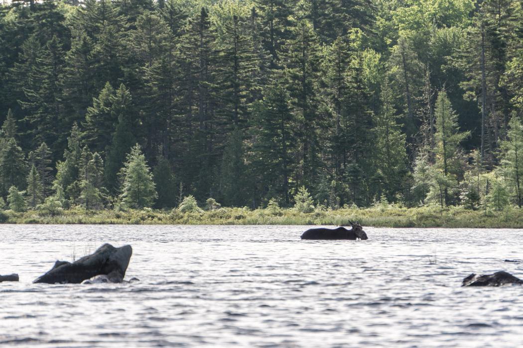 Moose Tour Maine-5