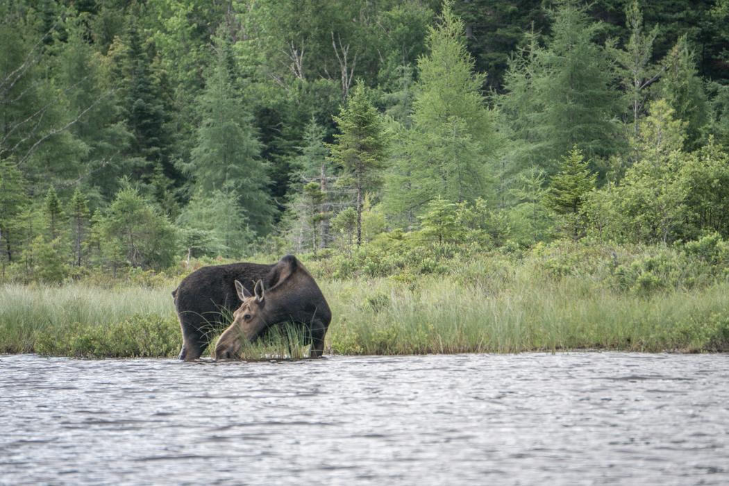Moose Tour Maine-7