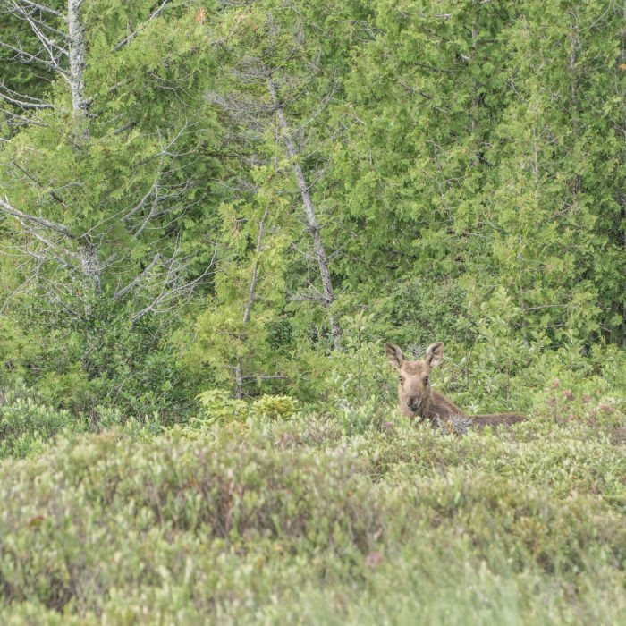 Moose Tour Maine-8