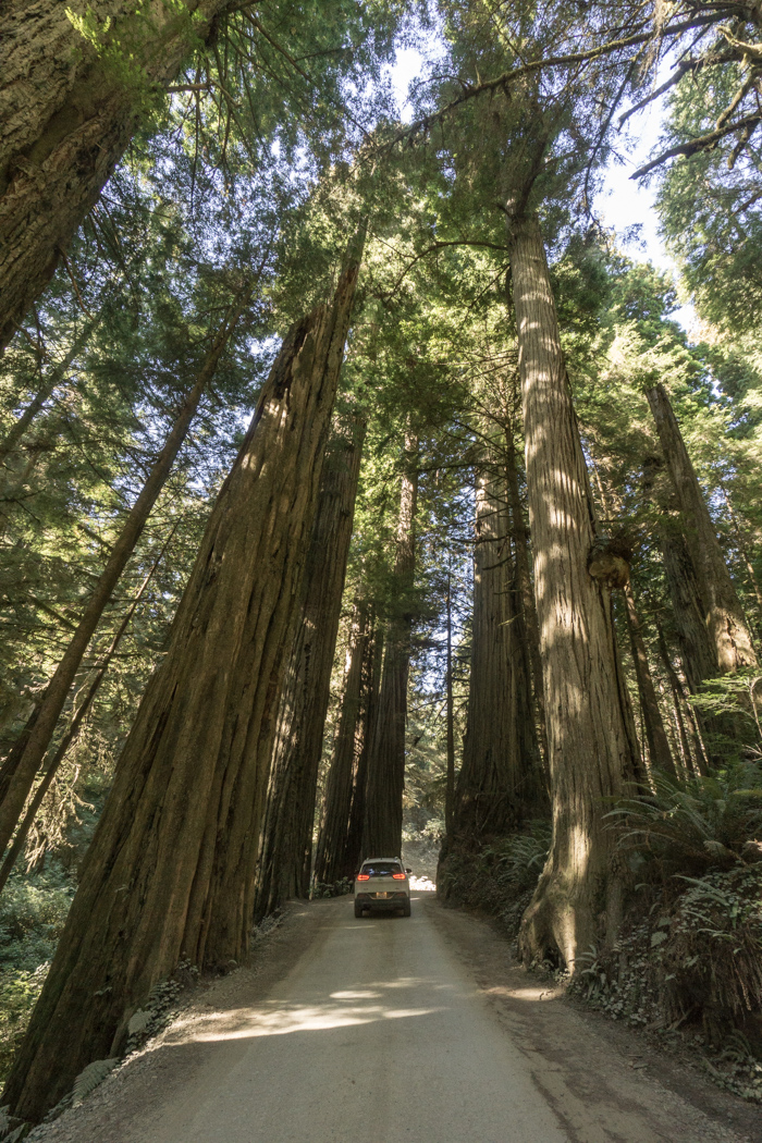 foret-redwoods- californie 2
