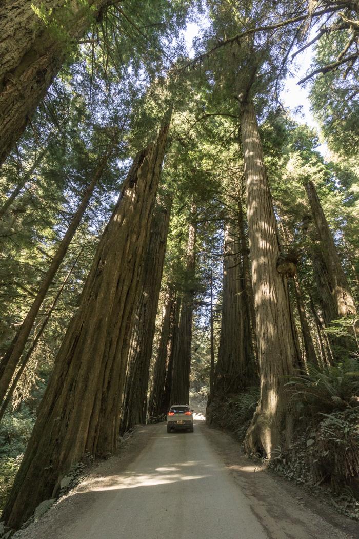 foret-redwoods- californie 2