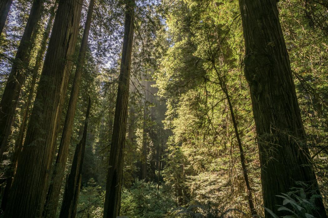 foret-redwoods californie