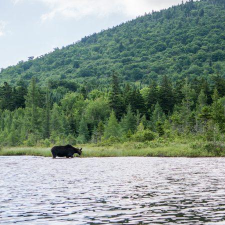 moose-safari-1
